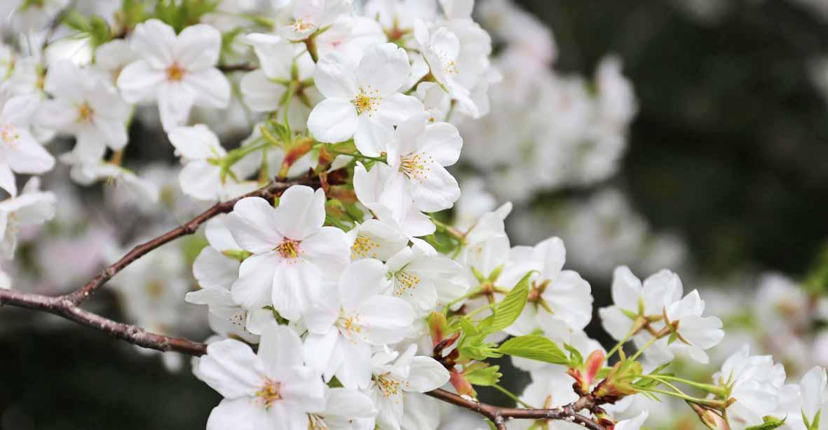 散る花びらに思いを寄せて 淡路みち