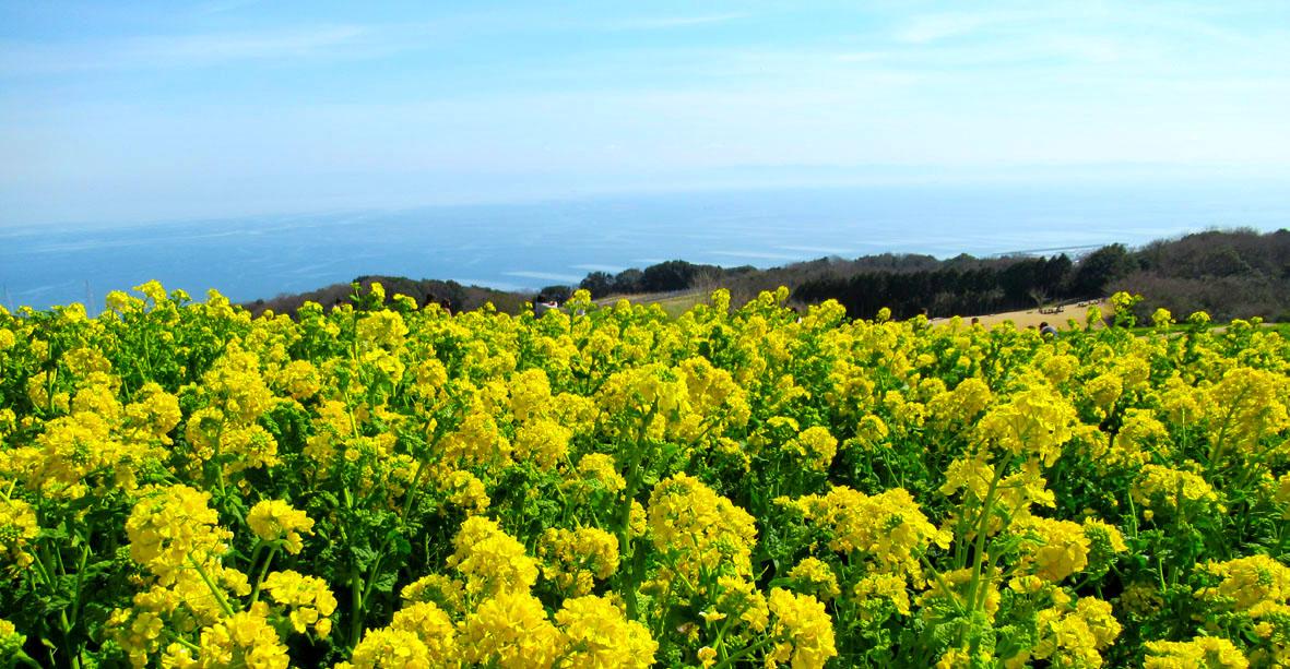 ラッタッタ タラッタッタ 菜の花のワルツ 淡路の丘に